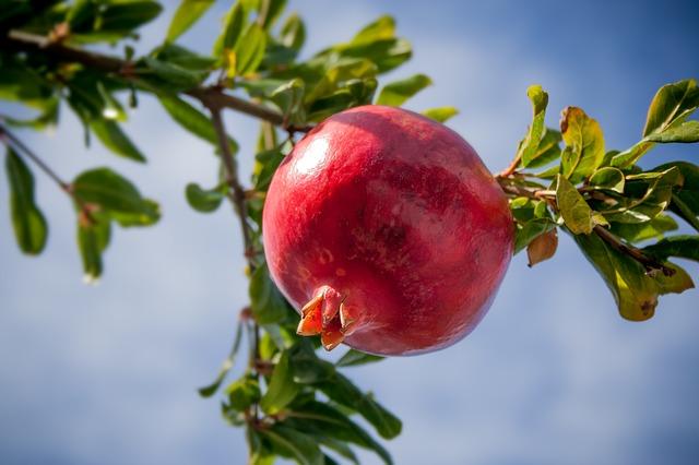 granátové jablko na stromě